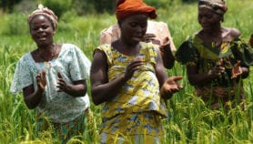 Benin starts feeling the cost of rice pests