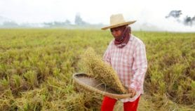 Hotter nights may cause rice yields to fall