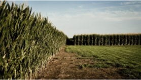 Rifts emerge in scientists' views on safety of GMOs
