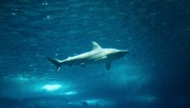 New way to save endangered sharks – and our seafood