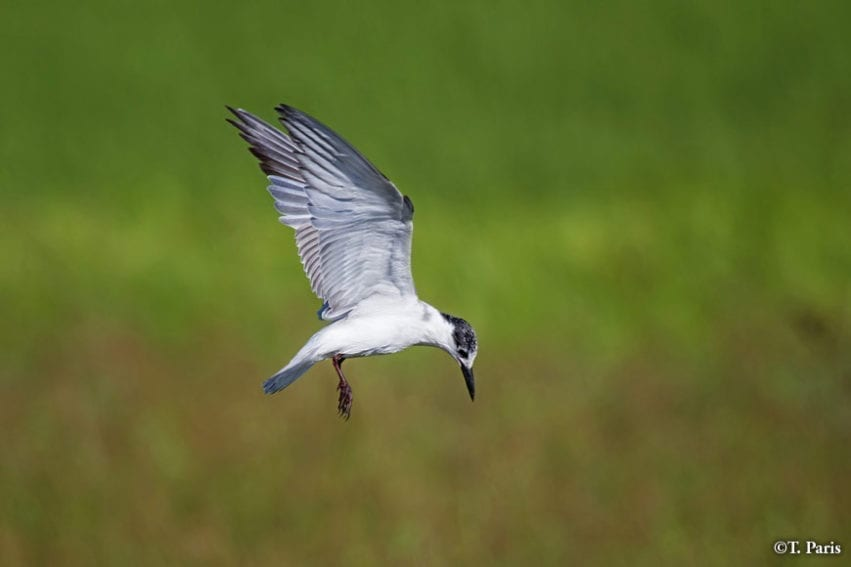 Whiskered terns catch fish or insects
