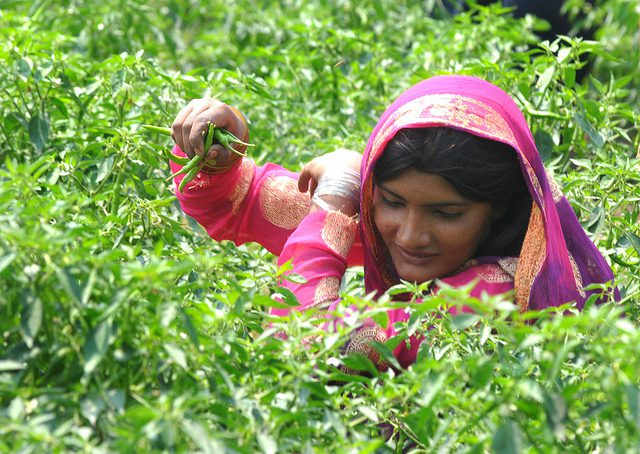 Woman_picking_chillis_Flickr_World Bank Photo Collection.jpg
