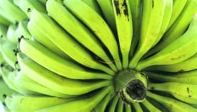 AI tool shows promise as banana disease spreads