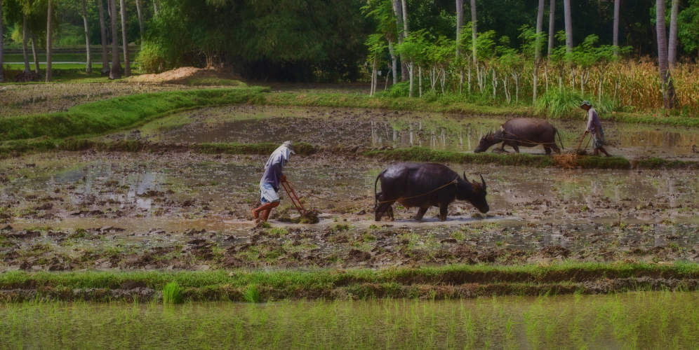 Farmers working with the carabao in paddies