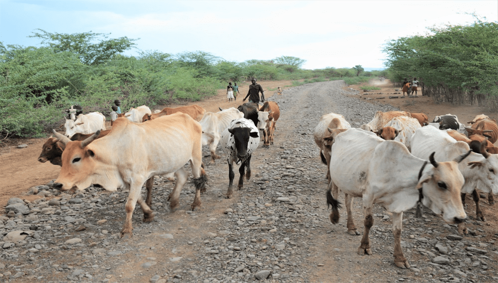 Cattle in and amongst prosopis juliflora