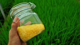 Despite clearing hurdle public can't sample GM rice yet
