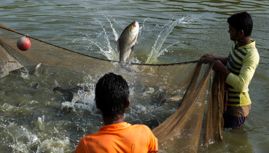 fish harvesting in Bangladesh