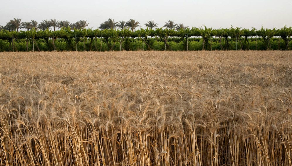 A field of wheat soon to be harvested