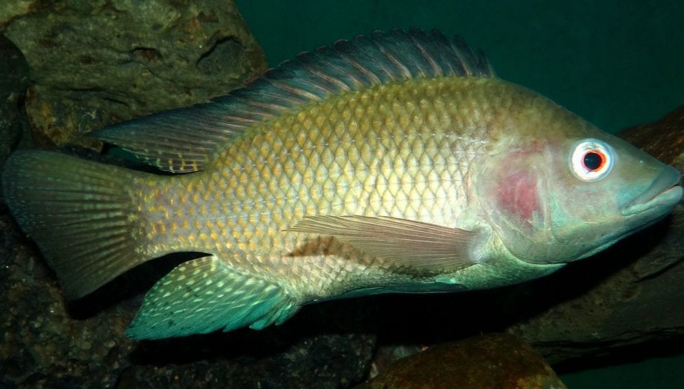 A Nile tilapia photographed at the Snake Park in central Nairobi.