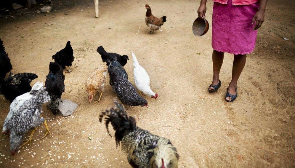 A woman feeds grains to poultry in her backyard