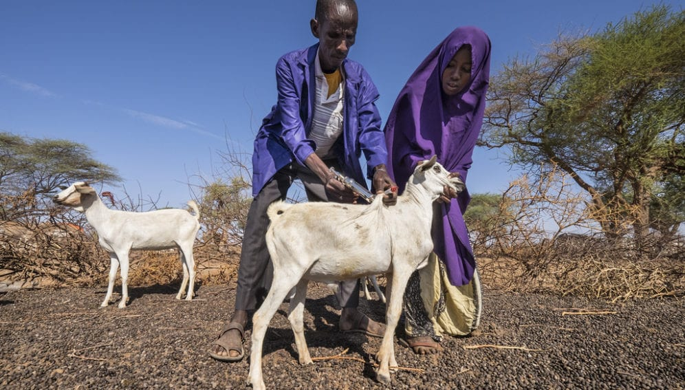 Goat vaccination