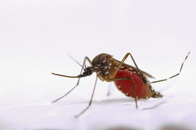 aedes female by USDA