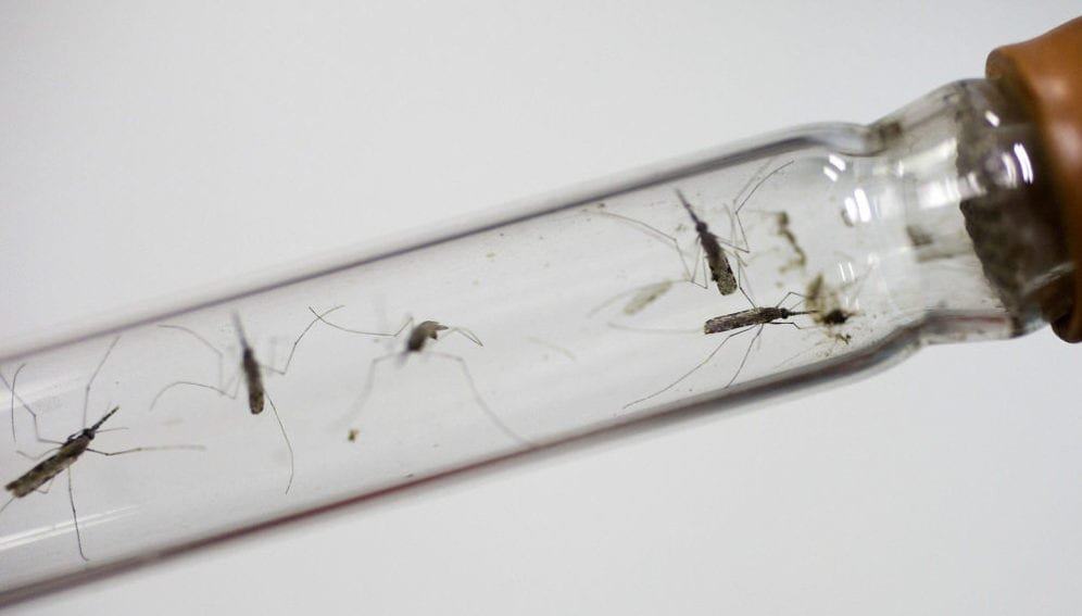 Live mosquitos in a test tube at a laboratory in the National Center for Parasitology