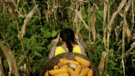 """Fake GM corn"" eating into Filipino farmers' profits"