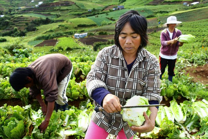 Farm labourers trim freshly picked cabbages