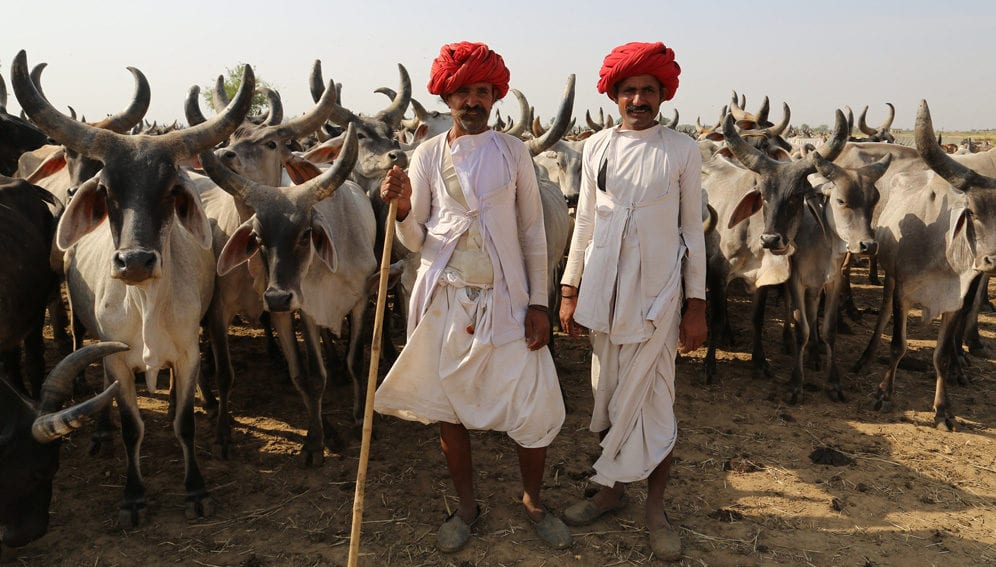 Indian farmers with cattle-main