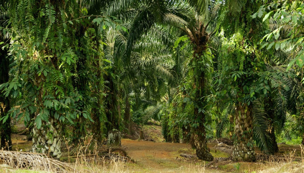 oil_palm_trees_plantation_malaysia_flickr_cifor