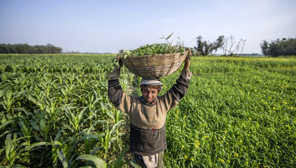 boy in maize and mustard field