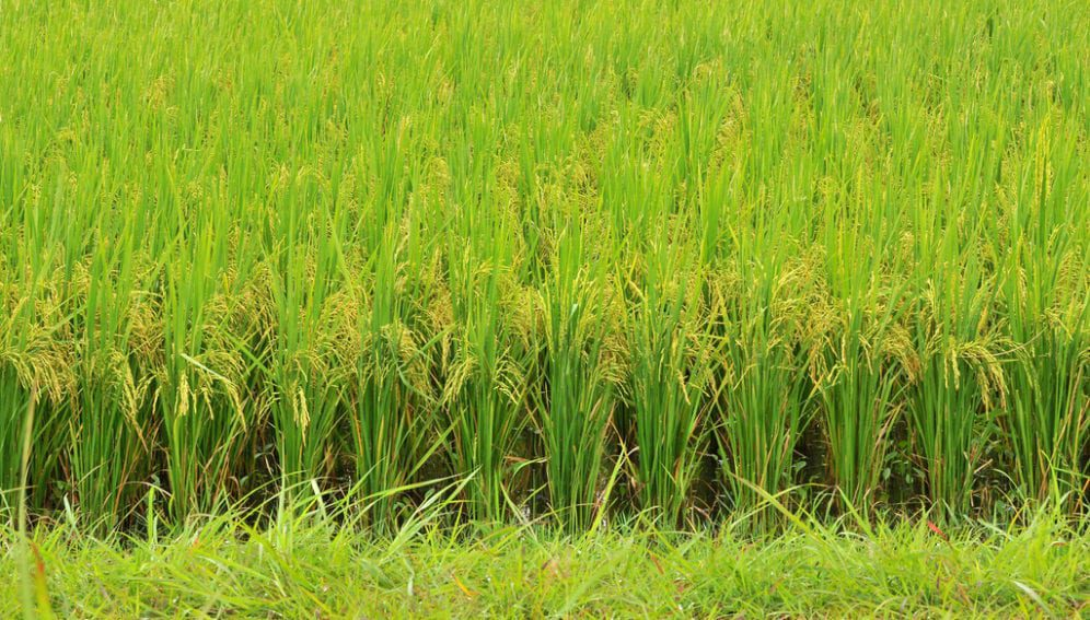 rice_fields_flickr_CIAT_1024x680