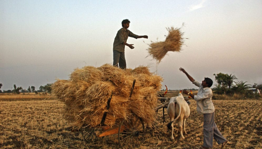 Sowing wheat earlier can help beat warming in India