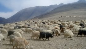Protecting the cashmere shawl with technology