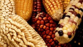 Biosafety fears behind Pakistan's temporary ban on GM food