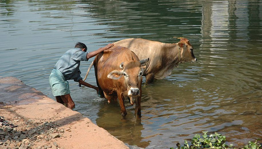 cows in India - main