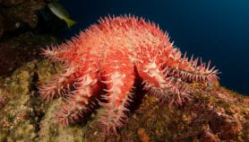 Habits of coral-eating starfish mapped for easy culling
