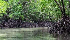 Sea-level rise may overwhelm mangroves by 2050