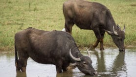 Improving Asian buffalo breeds with genomics