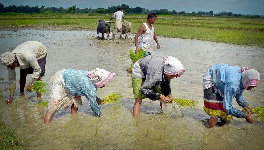 Farmers plant rice in Assam, India. A new study says that heirloom rice can supplement child nutrition.