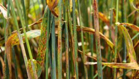 Climate change 'likely' to cut tropics crop diseases