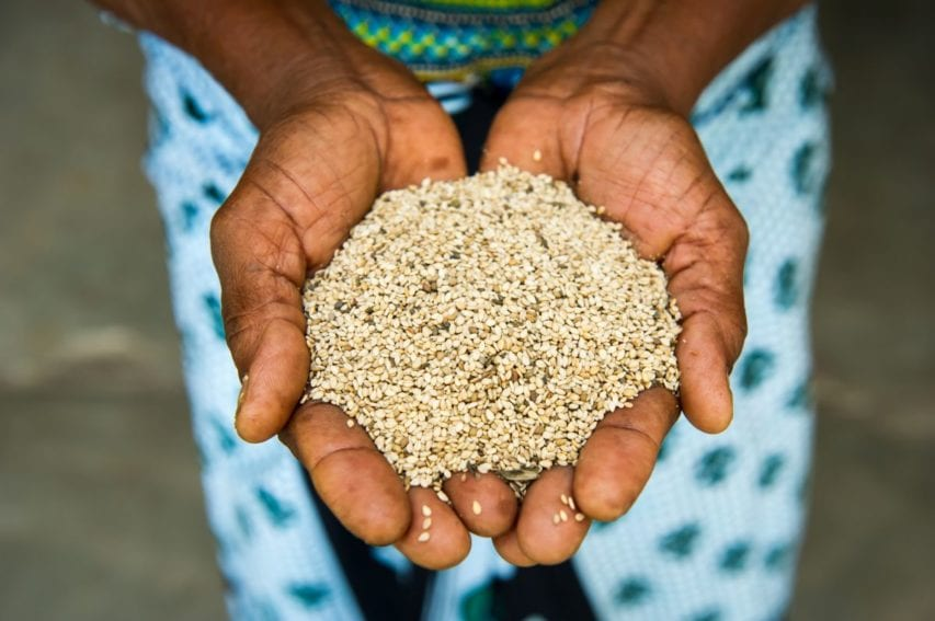 A harvest of sesame seeds is offering many families a rich source of nutrition for many households in Tanzania