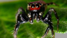 Mosquito-hunting spiders could help fight deadly malaria