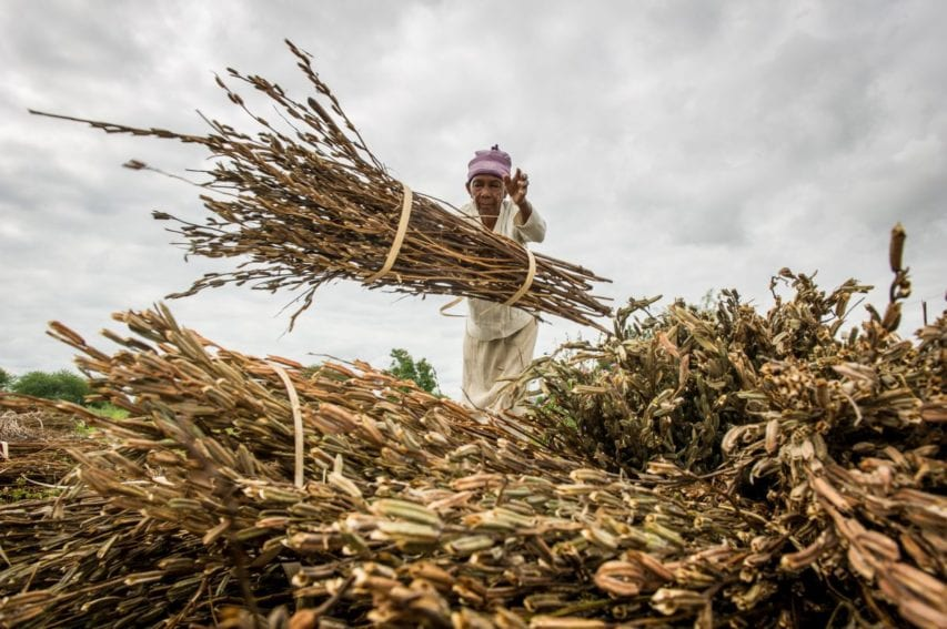 Once the crops have reached maturity, farmers cut and tie them in bundles and harvesting commences leading to production of edible nutritious seeds