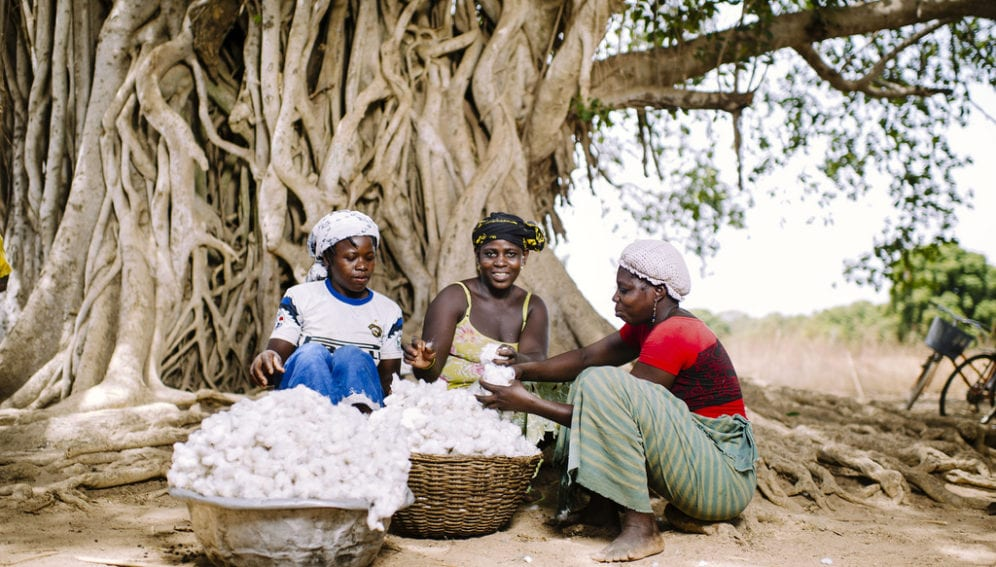 FARMERS separate the seeds from the fiber of freshly harvested cotton, under a tree