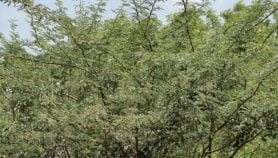 Alien tree threatening livelihoods mapped in Ethiopia