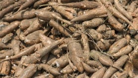 Cassava breeding could impair yield by 20 per cent