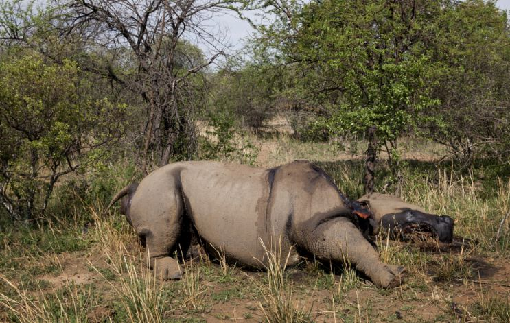 A dead rhino, killed for its horn