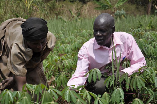 A farmer and a researcher evaluating cassava varieties