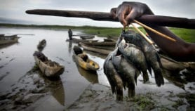 Viral disease in tilapia threatens food security