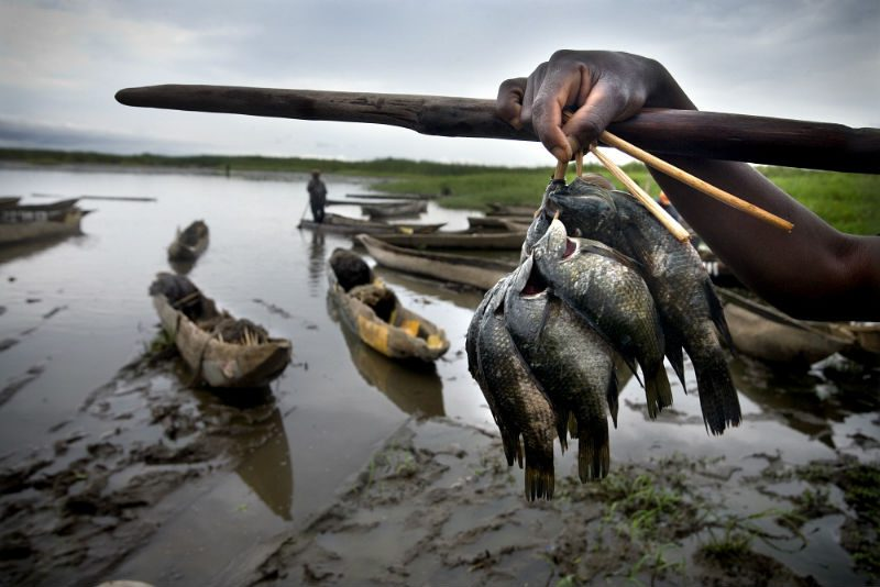 A fisherman shows his catch of tilapia fish