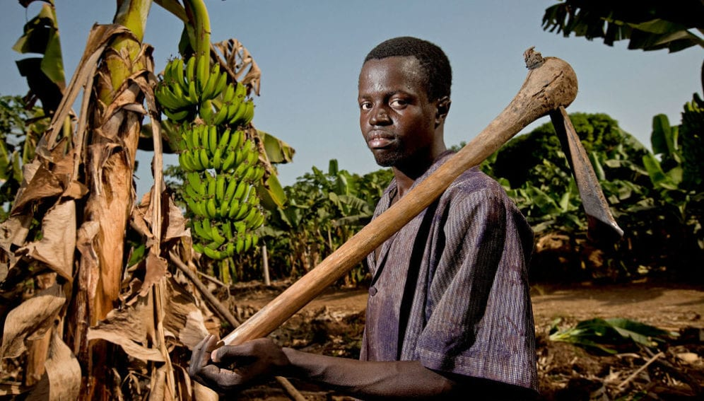 A man with a hoe stands in a banana plantation
