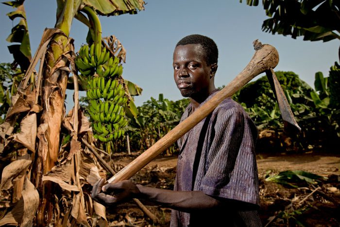 A man with a hoe stands in a banana plantation.