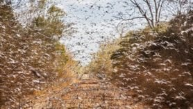 Desert locusts could offer dietary and health benefits