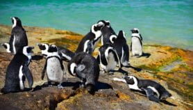 Penguins' behaviour could aid fisheries management
