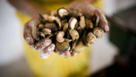 Cashew nut by-product may help cut sleeping sickness