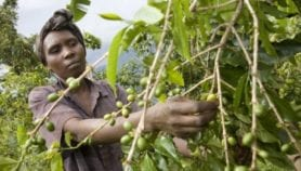 Rising night time temperature reduces coffee yields