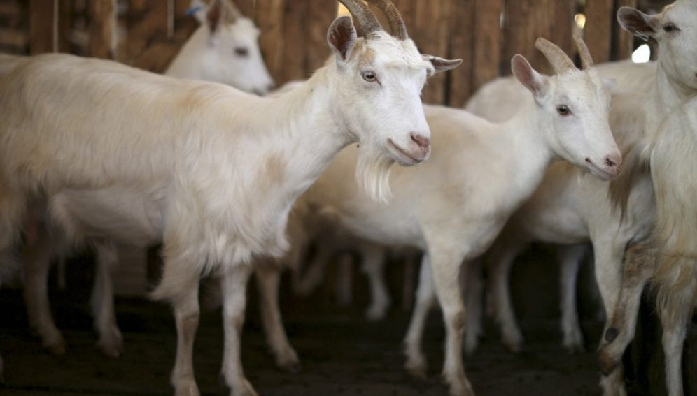 Dairy goats in a pen
