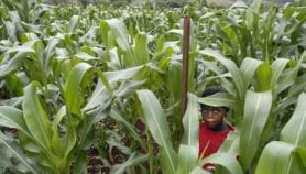Crop rotation increases maize yields in Malawi